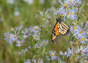 A monarch on Aster